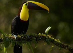chestnut-mandibled-toucan-copyright-photographers-on-safari-com-8093