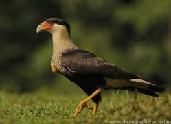 crested-caracara-copyright-photographers-on-safari-com-6735