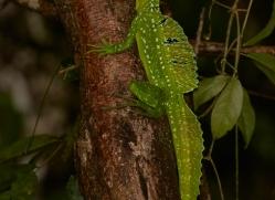emerald-basilisk-copyright-photographers-on-safari-com-8097