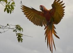 great-green-macaw-copyright-photographers-on-safari-com-6621