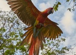 great-green-macaw-copyright-photographers-on-safari-com-6624