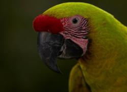 great-green-macaw-copyright-photographers-on-safari-com-6629