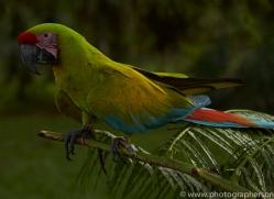 great-green-macaw-copyright-photographers-on-safari-com-6630