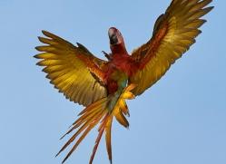 great-green-macaw-copyright-photographers-on-safari-com-6631
