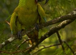 great-green-macaw-copyright-photographers-on-safari-com-6634