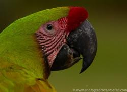great-green-macaw-copyright-photographers-on-safari-com-6635