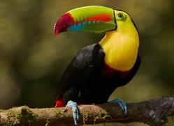keel-billed-toucan-copyright-photographers-on-safari-com-6636