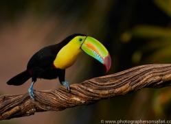 keel-billed-toucan-copyright-photographers-on-safari-com-6639