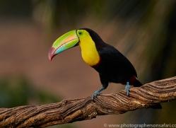 keel-billed-toucan-copyright-photographers-on-safari-com-6640