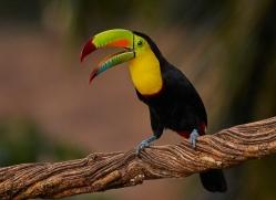keel-billed-toucan-copyright-photographers-on-safari-com-6641