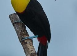 keel-billed-toucan-copyright-photographers-on-safari-com-6645