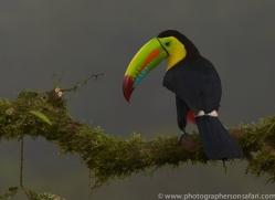 keel-billed-toucan-copyright-photographers-on-safari-com-6649