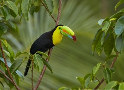 keel-billed-toucan-copyright-photographers-on-safari-com-8102