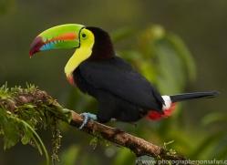 keel-billed-toucan-copyright-photographers-on-safari-com-8105
