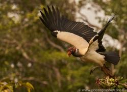 king-vulture-copyright-photographers-on-safari-com-8108