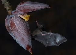 long-tongue-bat-copyright-photographers-on-safari-com-8110