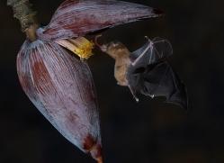 long-tongue-bat-copyright-photographers-on-safari-com-8111