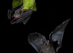 long-tongue-bat-copyright-photographers-on-safari-com-8115