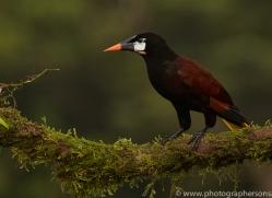 montezuma-oropendula-copyright-photographers-on-safari-com-6733