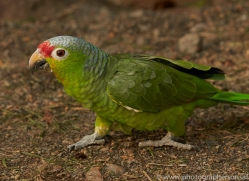 red-lored-parrot-copyright-photographers-on-safari-com-6682