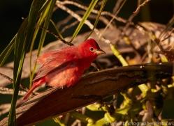 summer-tanager-copyright-photographers-on-safari-com-6728
