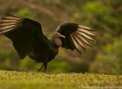 black-vulture-copyright-photographers-on-safari-com-8088