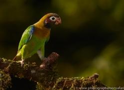 brown-hooded-parrot-copyright-photographers-on-safari-com-6684