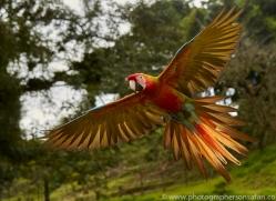 great-green-macaw-copyright-photographers-on-safari-com-8099