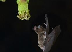 long-tongue-bat-copyright-photographers-on-safari-com-8112