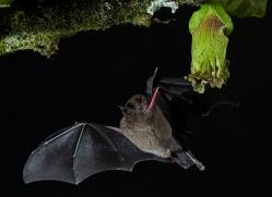 long-tongue-bat-copyright-photographers-on-safari-com-8114