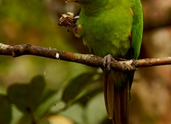 red-lored-parrot-copyright-photographers-on-safari-com-8116