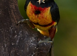 Collared-Aracari-copyright-photographers-on-safari-com-6603