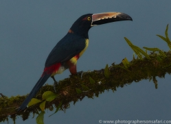 Collared-Aracari-copyright-photographers-on-safari-com-6606