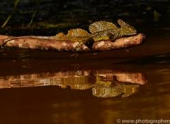 Jesus Christ-lizard-copyright-photographers-on-safari-com-6671