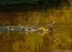 Jesus Christ-lizard-copyright-photographers-on-safari-com-6674