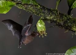 Long-tongued-nectar-bat-copyright-photographers-on-safari-com-6608