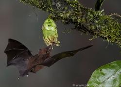 Long-tongued-nectar-bat-copyright-photographers-on-safari-com-6609