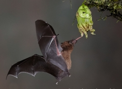 Long-tongued-nectar-bat-copyright-photographers-on-safari-com-6610