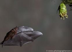 Long-tongued-nectar-bat-copyright-photographers-on-safari-com-6611