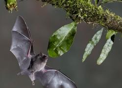 Long-tongued-nectar-bat-copyright-photographers-on-safari-com-6619