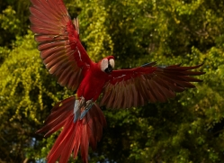 Scarlet-Macaw-copyright-photographers-on-safari-com-6690