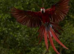 Scarlet-Macaw-copyright-photographers-on-safari-com-6693