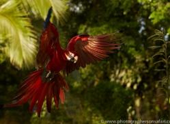 Scarlet-Macaw-copyright-photographers-on-safari-com-6695