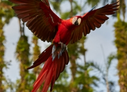 Scarlet-Macaw-copyright-photographers-on-safari-com-6699