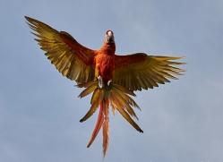 Scarlet-Macaw-copyright-photographers-on-safari-com-6700