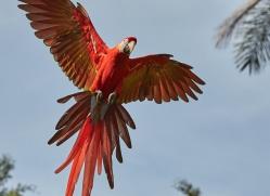 Scarlet-Macaw-copyright-photographers-on-safari-com-6702