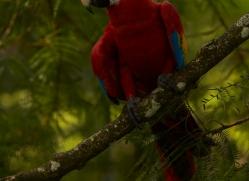 Scarlet-Macaw-copyright-photographers-on-safari-com-6704