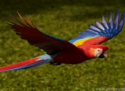 Scarlet-Macaw-copyright-photographers-on-safari-com-6706