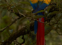 Scarlet-Macaw-copyright-photographers-on-safari-com-6707