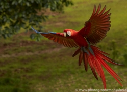 Scarlet-Macaw-copyright-photographers-on-safari-com-6708